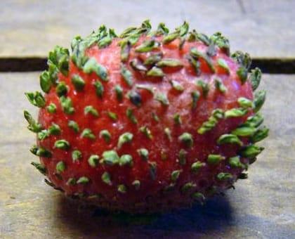 イチゴの葉化現象