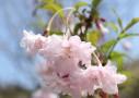 梅(ウメ)・桃(モモ)・桜(サクラ)花の見分け方