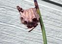 アシナガバチの躍り食い