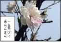 梅ウメ・桃モモ・桜サクラの花の見分け方