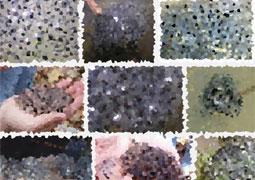 trypophobia-蛙の卵画像検索