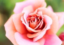 八重のバラ