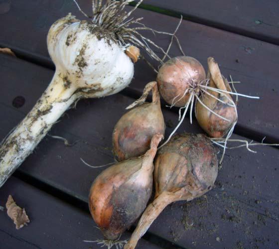 玉葱とニンニク