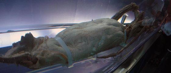 ダイオウイカ標本