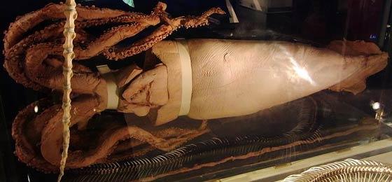 深海展が人気だけど科博に伝説のダイオウイカなどいない