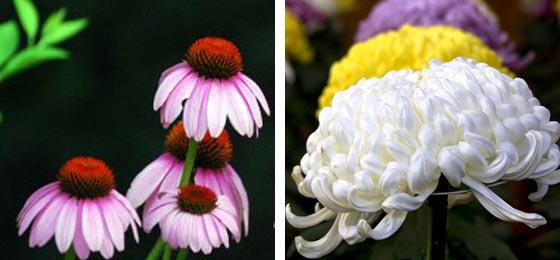 一重のエキナセアと大菊