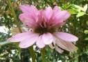 エキナセア・ダブルデッカーの語源と花が奇形かどうかって話
