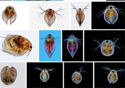 water flea on flickr