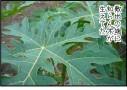 観葉植物としてのパパイヤが一石何鳥で超いけてる話