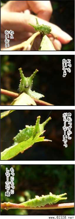 エノキにつくアカボシゴマダラの幼虫