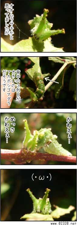 アカボシゴマダラの幼虫見分け方