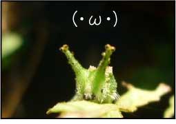 アカボシゴマダラ蝶の幼虫がオオムラサキ似のかわいさでやばい