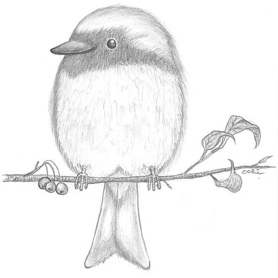 Pencil Drawing, Daurian Redstart, ジョウビタキが小枝にとまってるところ