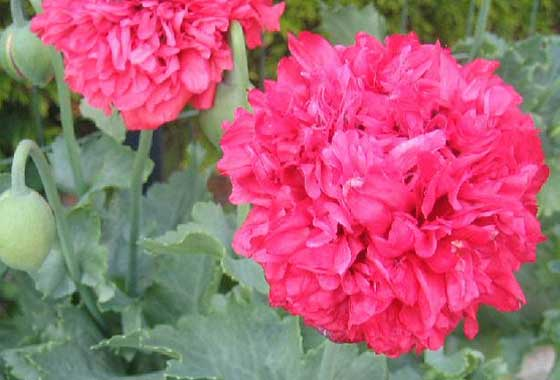 ケシ(ソムニフェルム種)の八重咲き