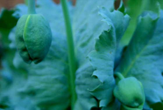 ケシ(ソムニフェルム種)の葉柄