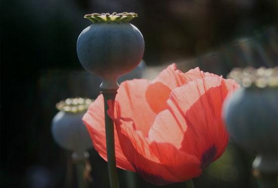 ケシ(ソムニフェルム種)の花と実