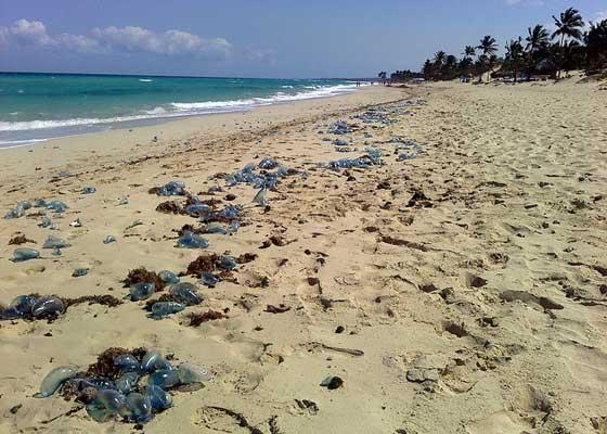 浜辺に打ち上がるカツオノエボシ