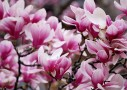 木蓮(マグノリア)は剪定枝を切花に!季節を先取りして楽しもう