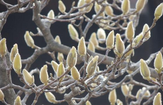 木蓮のつぼみ
