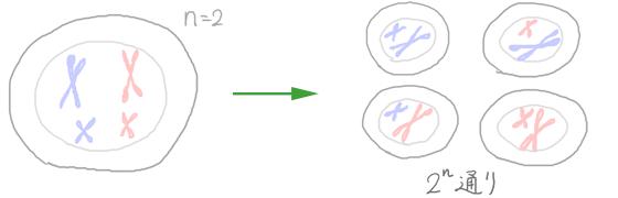 減数分裂の仕組み