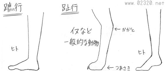 趾行と蹠行(人と動物との踵の違い)