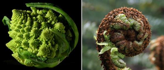 ロマネスコとシダ植物のフラクタル構造
