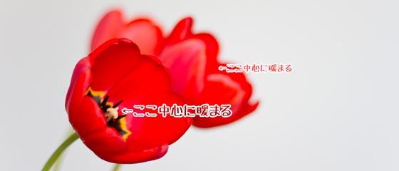 パラボラ効果で花の中は暖かい