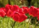 開花チューリップ