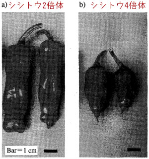 シシトウ4倍体のときの発現型