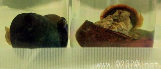ギガントペルタ・イージスとチェッソイアの標本