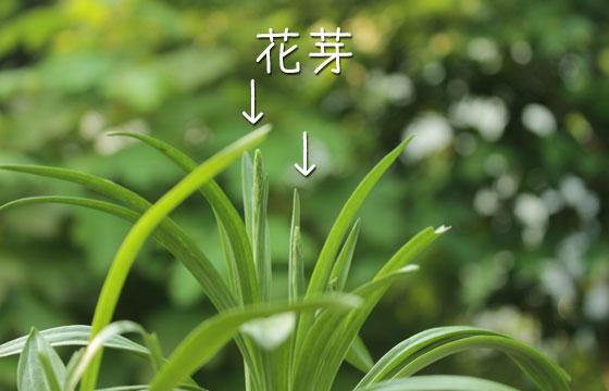 ネジバナの花芽
