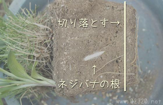 ネジバナの根