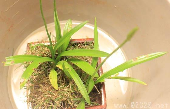 芝と混植したネジバナ