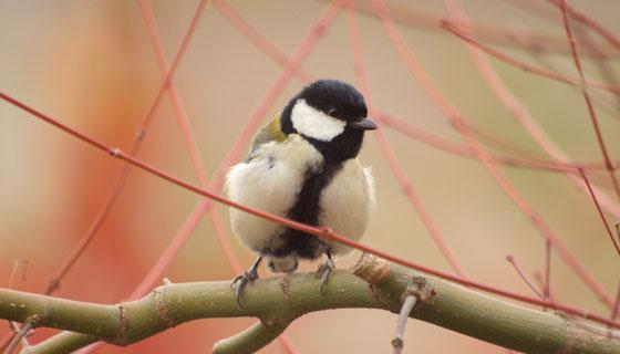 シジュウカラの巣材は蒔き苔(まきゴケ)用の種に再利用可能か?