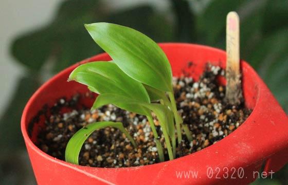 種から発芽したバナナの苗