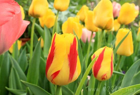 チューリップを来年も咲かせたい!ズボラさん向けアイディア集
